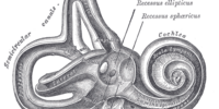 Posterior semicircular canal
