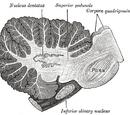 Fastigial nucleus