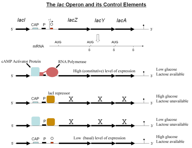 File:Lac operon.png