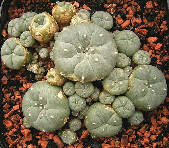 File:Lophophora williamsii ies.jpg