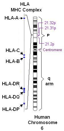 HLA complex1