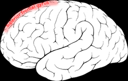 Superior frontal gyrus