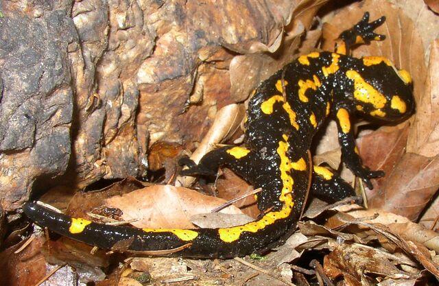 File:Salamandra salamandra CZ.JPG