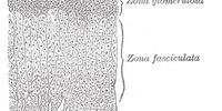 Zona reticularis