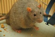 Picture of an overweigh rat