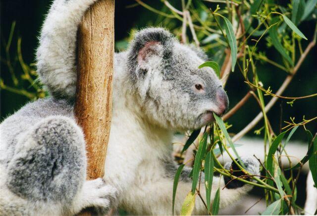 File:Koala-ag1.jpg