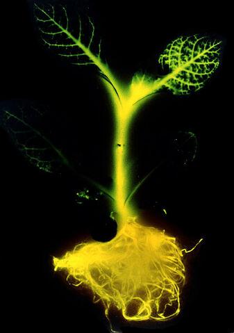 File:Glowing tobacco plant.jpg