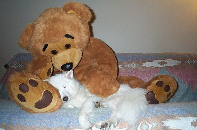 File:Samoyed-and-teddy-bear.jpg