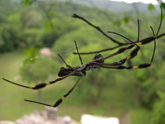 File:Spider Chiapas Mexico.jpg