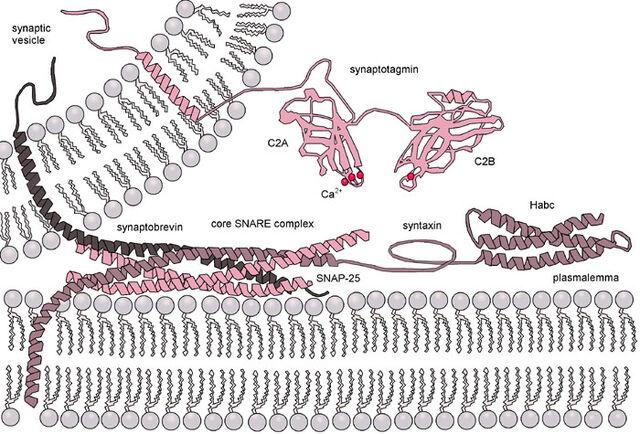 File:Exocytosis-machinery.jpg