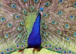 Peacock.detail.arp.750pix