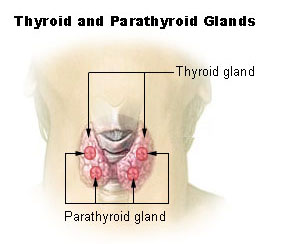 File:Illu thyroid parathyroid.jpg