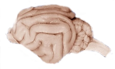 File:Cat brain NASA.jpg