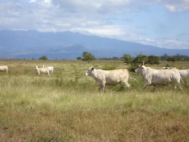 File:Brahman cattle.JPG