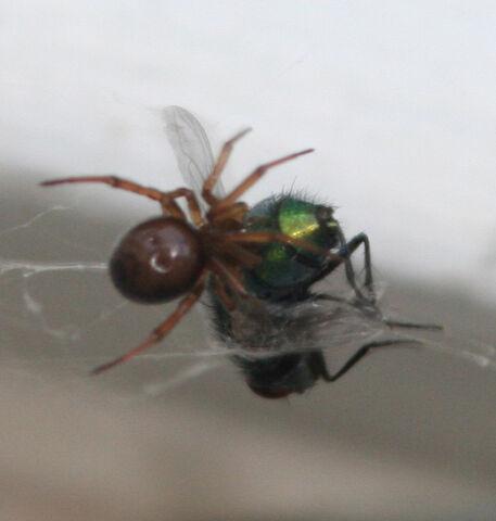 File:Spidereatfly.jpg