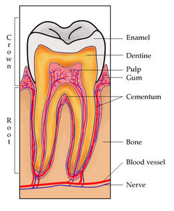 ToothSection