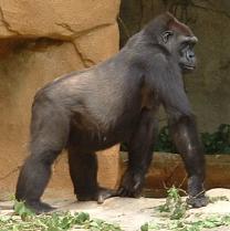 File:Gorilla-kiktajm.png