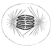 File:Anaphase.jpg
