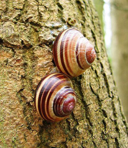File:Cepaea nemoralis pair banded shells.jpg