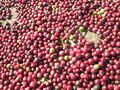 Coffee berries fresh.jpg
