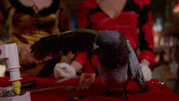 Pigeon 308