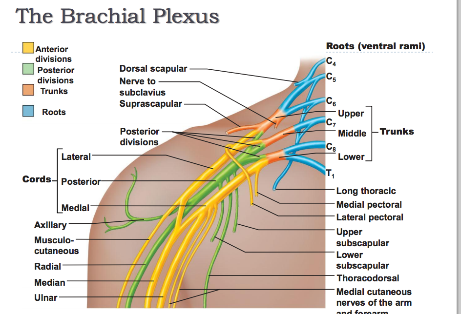 Nerves:Arm/Shoulder:Brachial Plexus:Lateral cord ... Brachial Region