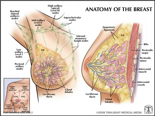 anatomy breastfeeding breast
