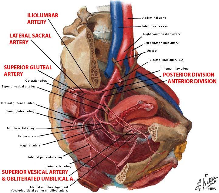 arterial structures:pelvis:internal iliac artery | ranzcrpart1, Human body