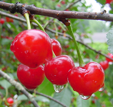 File:Cherries.jpg