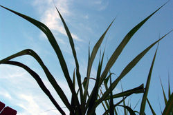 File:Sugarcane.jpg