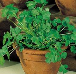 File:Coriander(cilantro).jpg