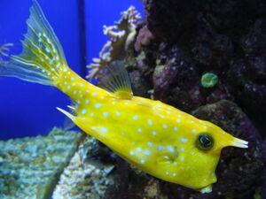 Lactoria cornuta.002 - Aquarium Finisterrae