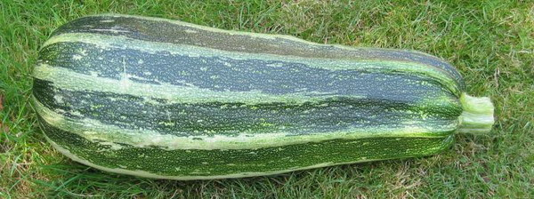 File:VegetableMarrow.jpg
