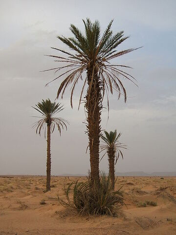 File:Date palm.jpg