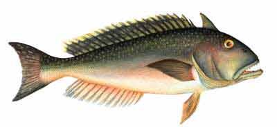 File:Tilefish.jpg
