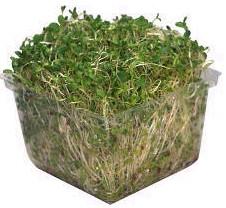 File:Broccoli sprouts.jpg