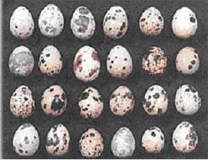 File:Quail-eggs1.jpg