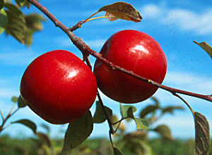 File:HaralsonApple.jpg