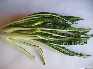 Italian dandelion