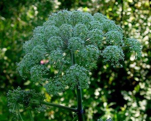 File:Angelica.jpg