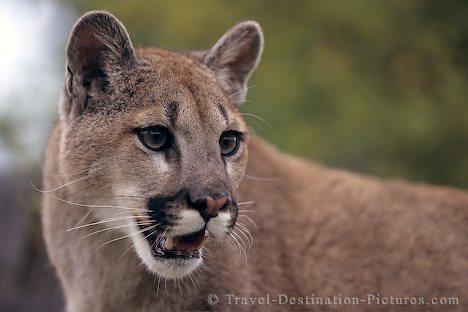 File:Cougar 248.jpg