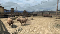 Rdr sheep