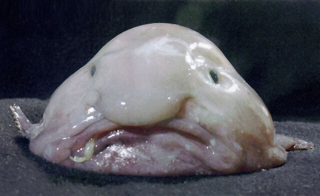 File:Blobfish.jpg