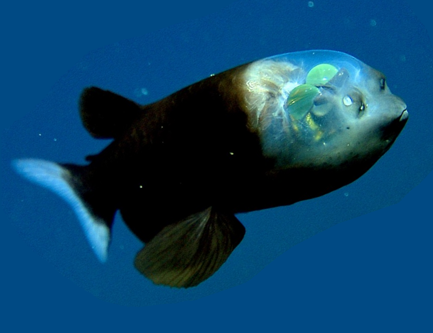 Pez cabeza transparente wiki reino animalia fandom for Pozos para peces