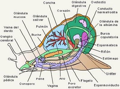 Moluscos wiki reino animalia fandom powered by wikia - Estructura caracol ...