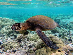800px-Green turtle swimming over coral reefs in Kona