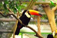 Riesentukan (Toco Toucan) Weltvogelpark Walsrode 2010