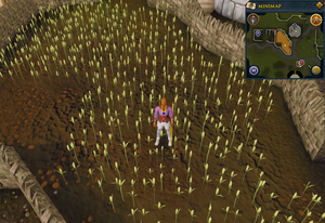 Emote clue Think Lumbridge wheat field