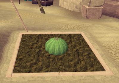 Potato cactus2