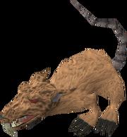 Angry giant rat